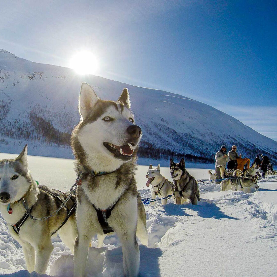 Husky adventure - dog sledding on Senja